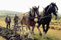 The power of Shire Horses, harnessed to plough the land